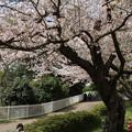桜_公園 D8025