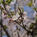 桜_公園 D8032
