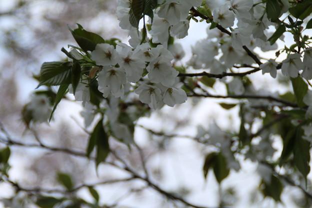 桜_公園 D8035