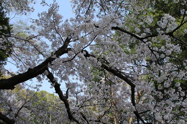 桜_散歩道 D8039