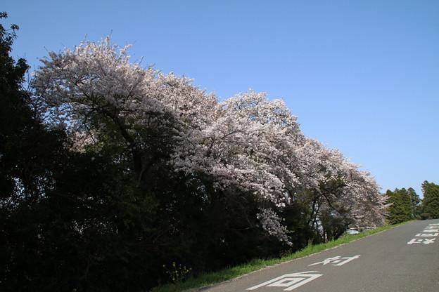 桜_鬼怒川 D8049