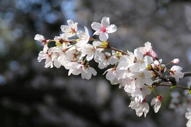 桜_散歩道 D8040