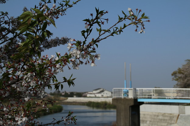 桜_鬼怒川 D8053