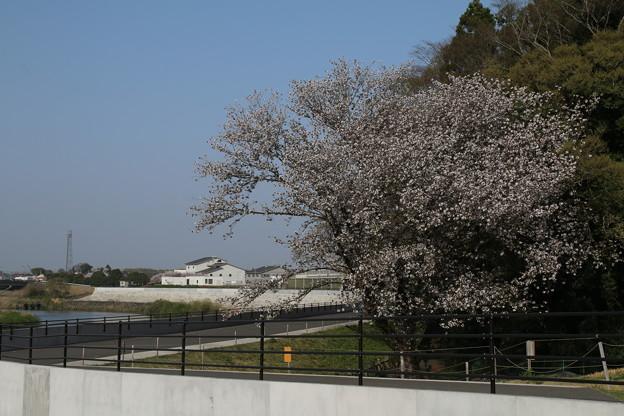 桜_鬼怒川 D8058