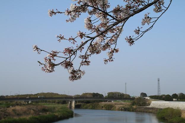 桜_鬼怒川 D8070