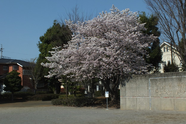 桜_公園 F4802