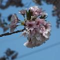 桜_公園 F4805