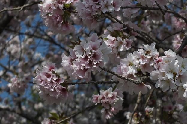 桜_公園 F4804