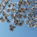 桜_公園 F4807