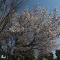 桜_公園 F4806