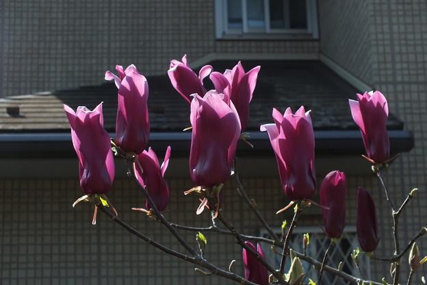 シモクレン_散歩道 F4821