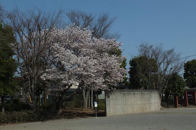 桜_公園 F4809