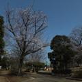 桜_公園 F4810