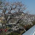桜_散歩道 F4820