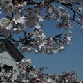 桜_散歩道 F4818