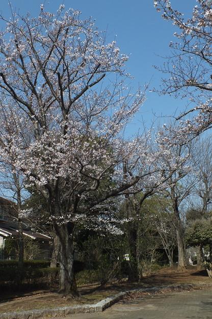 桜_公園 F4811