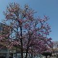 Photos: シモクレン_駅前 F4839