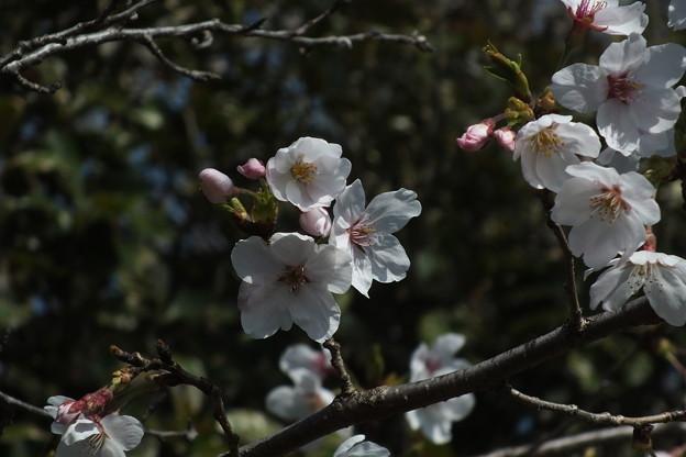 桜_公園 F4812