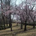 桜_公園 F4834