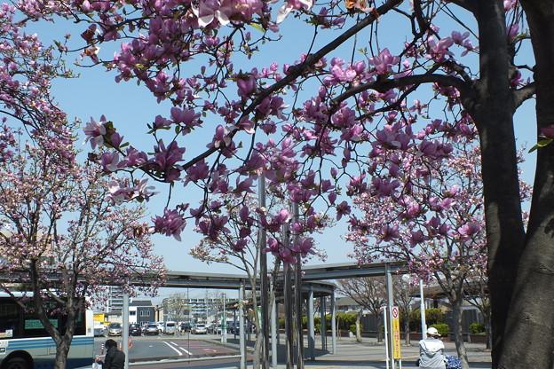Photos: シモクレン_駅前 F4840
