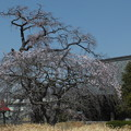 桜_西林寺 F4844