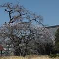 Photos: 桜_西林寺 F4844