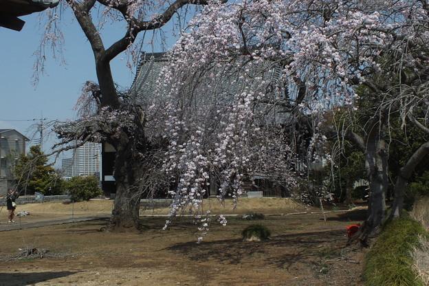 桜_西林寺 F4845