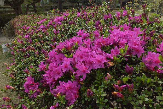 サツキ_公園 F4882
