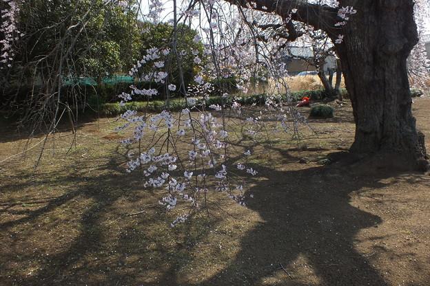 桜_西林寺 F4847
