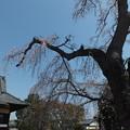 桜_西林寺 F4848