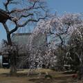 桜_西林寺 F4850