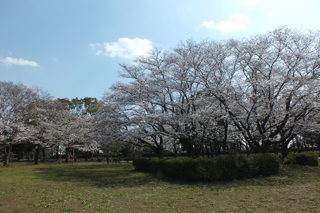 桜_公園 F4851