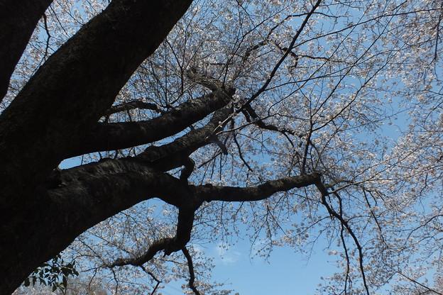 桜_公園 F4853