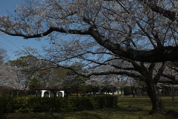 桜_公園 F4852