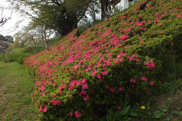 サツキ_公園 F4891