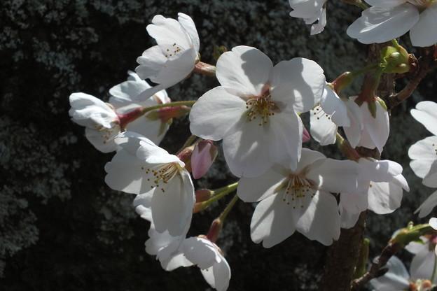 桜_公園 F4856