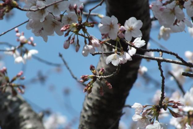 桜_公園 F4860