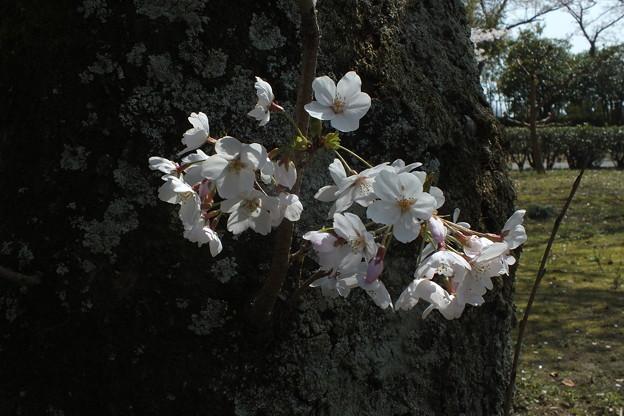 桜_公園 F4855