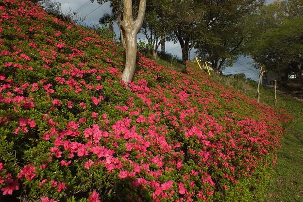 サツキ_公園 F4895