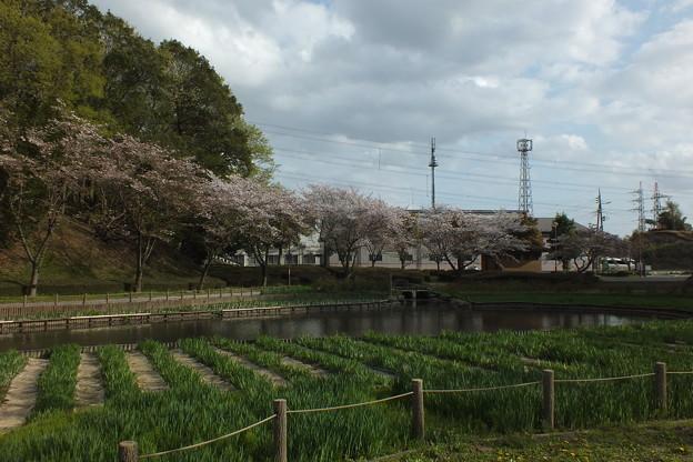 桜_公園 F4897