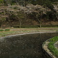 桜_公園 F4896