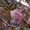 桜_公園 F4900