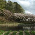 桜_公園 F4898
