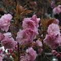 桜_公園 F4902