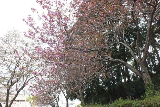 桜_公園 F4903