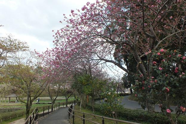 桜_公園 F4905