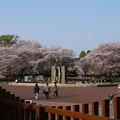 桜_公園 D8071