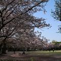 桜_公園 D8076