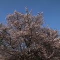桜_公園 D8075