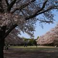 桜_公園 D8077